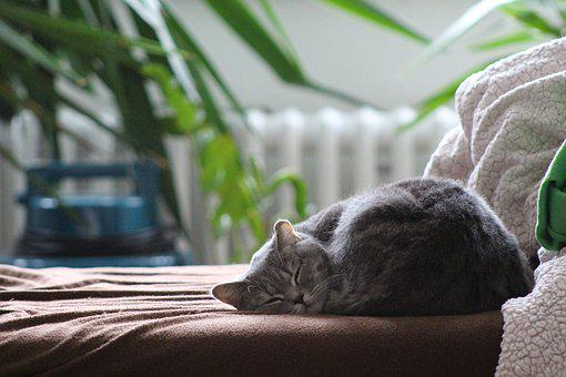 Cat, British Shorthair Cat, Sleeping Cat
