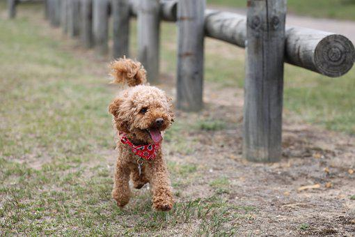 Poodle, Toy Poodle, Dog, Adorable, Cute