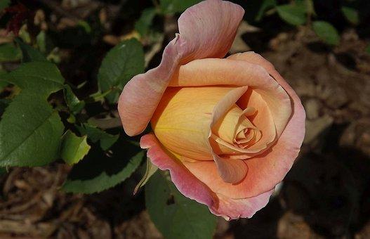 Di Rosa Tea Immagini · Pixabay · Scarica immagini gratis