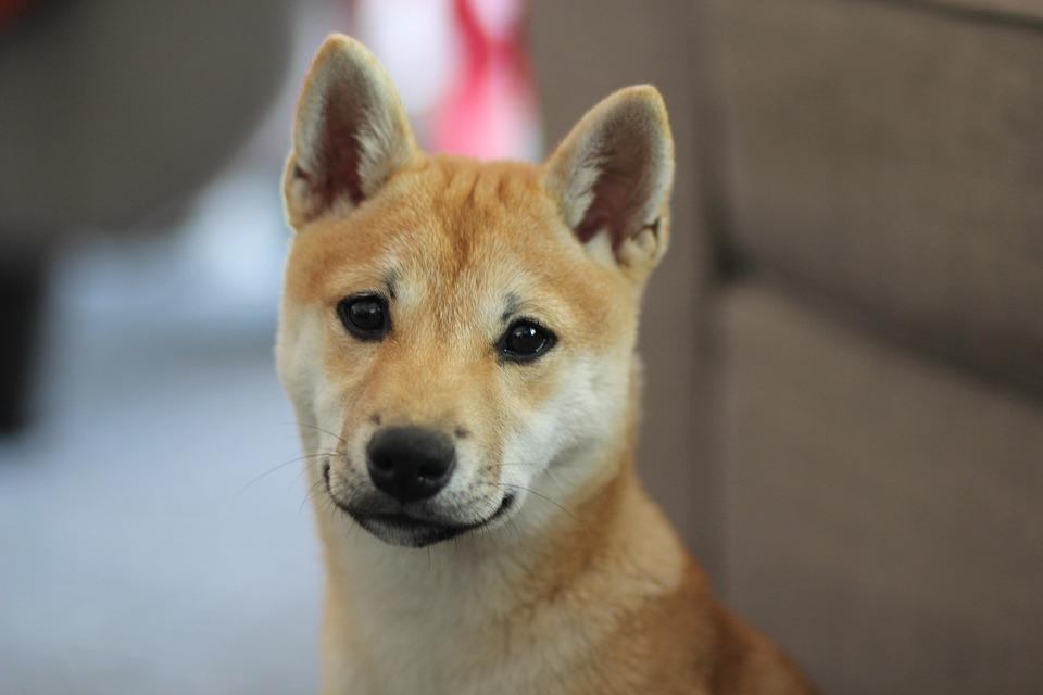 Dog, Shiba Inu, Puppy, Animal, Shiba, Pet, Cute, Canine