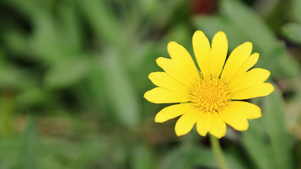 Bunga Daisy Kuning Foto Gratis Di Pixabay