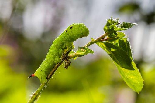 Caterpillar, Medio Weinschwärmer