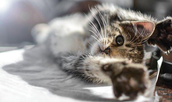 Kitten, Cat, Pet, Animal, Kitty