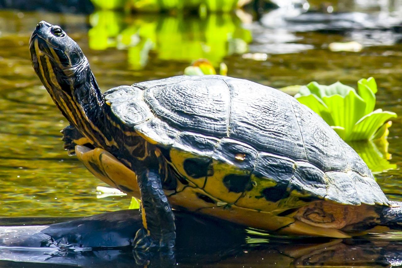 водная черепаха картинки прячется логове