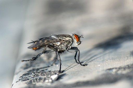 飛、昆虫、マクロ、カブトムシ、昆虫、単眼、翼の虫、動物の世界