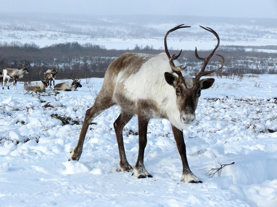 reindeer the herd pasture the horn of africa hoof - Pictures Of Reindeer