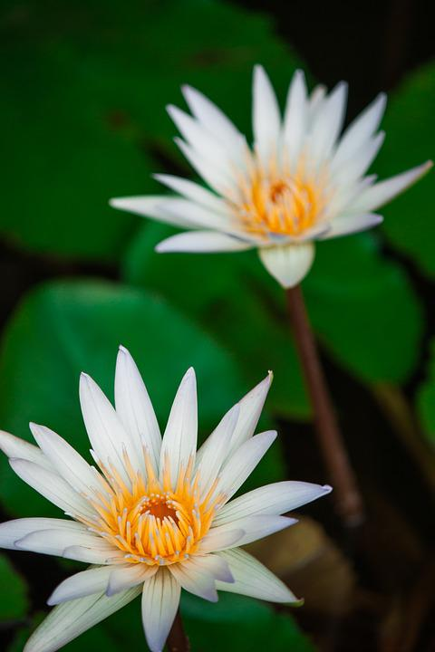 Lotus flower flowers free photo on pixabay lotus flower flowers nature background water mightylinksfo