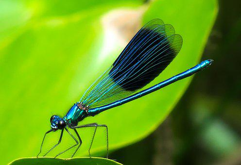 Animal, Dragonfly, Insect, Wing