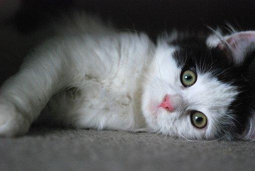 Kitten, Cat, Cute, Pet