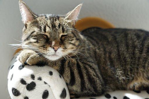 Cat, Tigre, Reste, Meubles, Dalmatiens