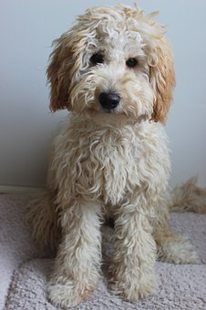 Labradoodle Puppies For Sale in New Hampshire