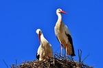 storks, pair, birds