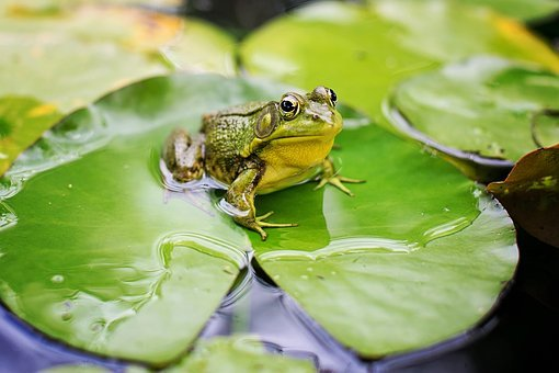 Bull Frog, Green, Pond, Lily Pad, Frog