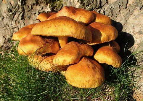Mushroom, Armillaria Gallica