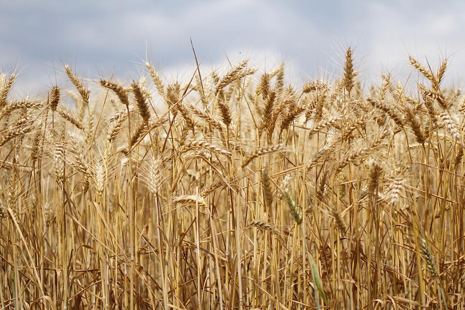 Wheat Field 183 Free Photo On Pixabay