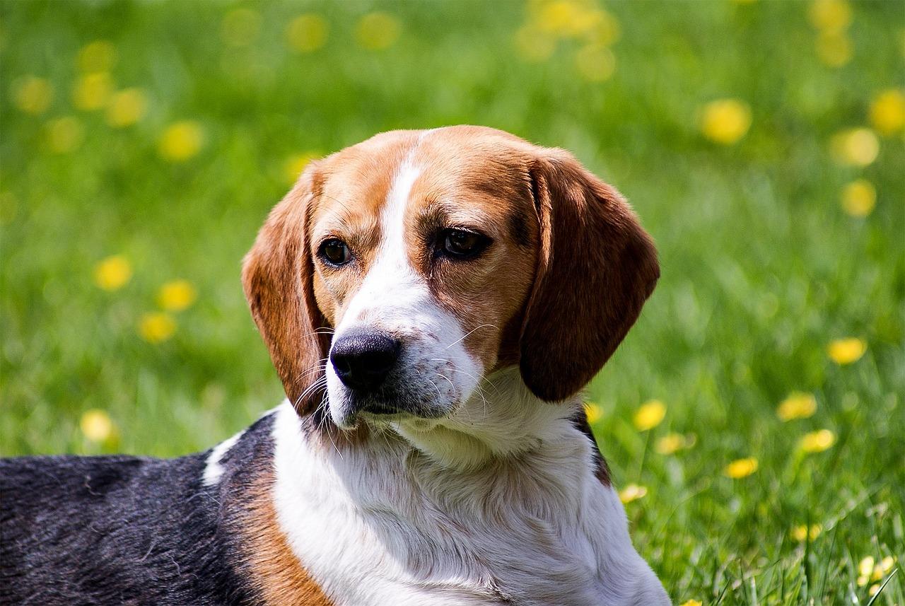 Картинка собаки бигль