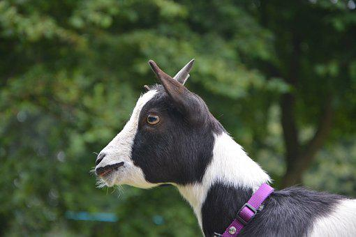 Dwarf Goat Profile Of