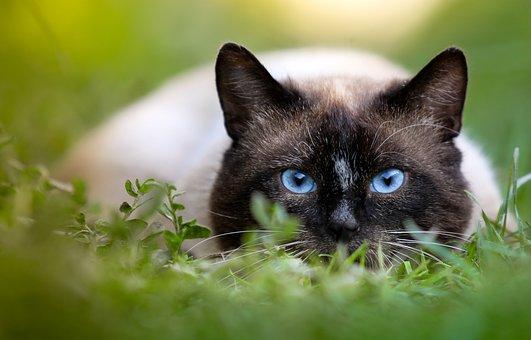 Katze, Jagd, Siamesisches, Augen