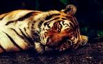 tygrys, zwierząt, przyrody