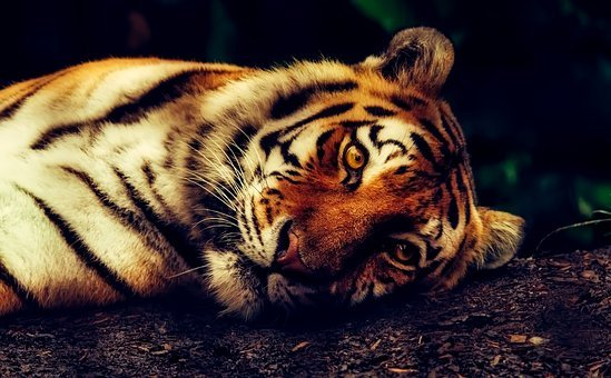 Tiger, Animal, Wildlife, Resting, Macro
