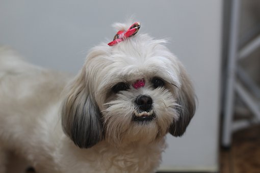 Pet, Shih Tzu, Dog, Puppy, Shih Tzu
