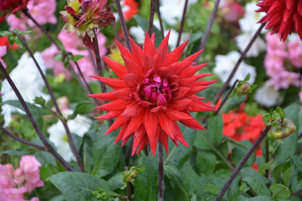 photo gratuite: dahlia, fleur, rouge, massif - image gratuite sur