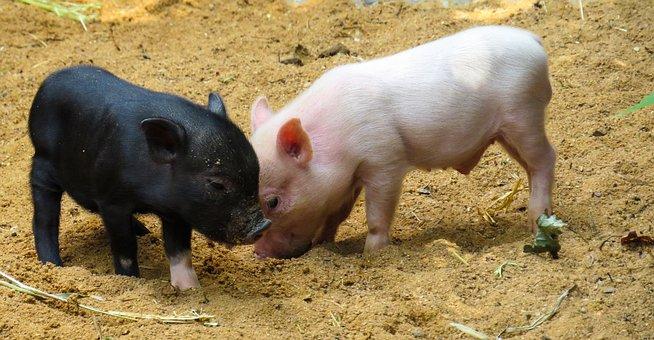 Animal, Pig, Piglet, Pink, Curly Tail