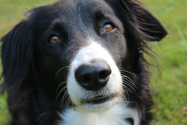 Border Collie Dog British Sheepdog · Free Photo On Pixabay