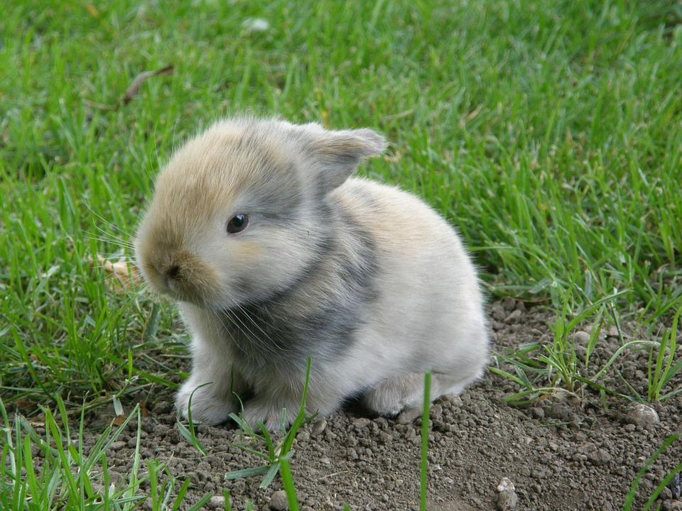 Image of: Clover Rabbitry Rabbit Baby Hare Animal Mammal Rodent Pet Pixabay Rabbit Baby Hare Free Photo On Pixabay