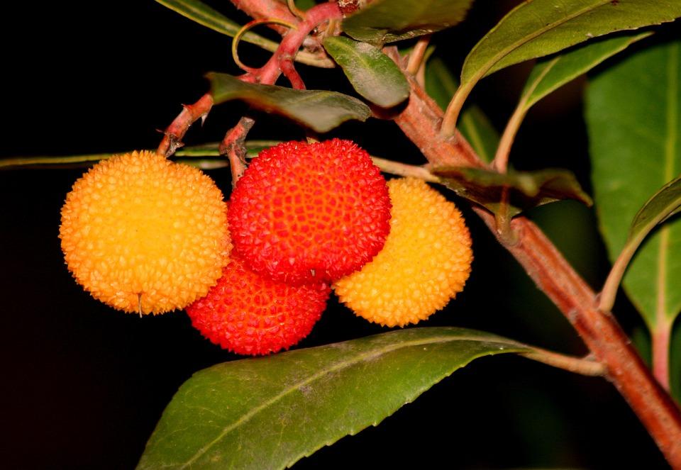 Madroño, Strawberry Tree, Garden, Madrid Spain, Fruit