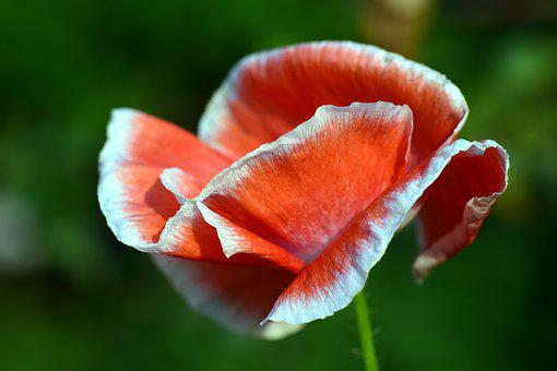 White poppy images pixabay download free pictures poppy blossom bloom red poppy flower mightylinksfo