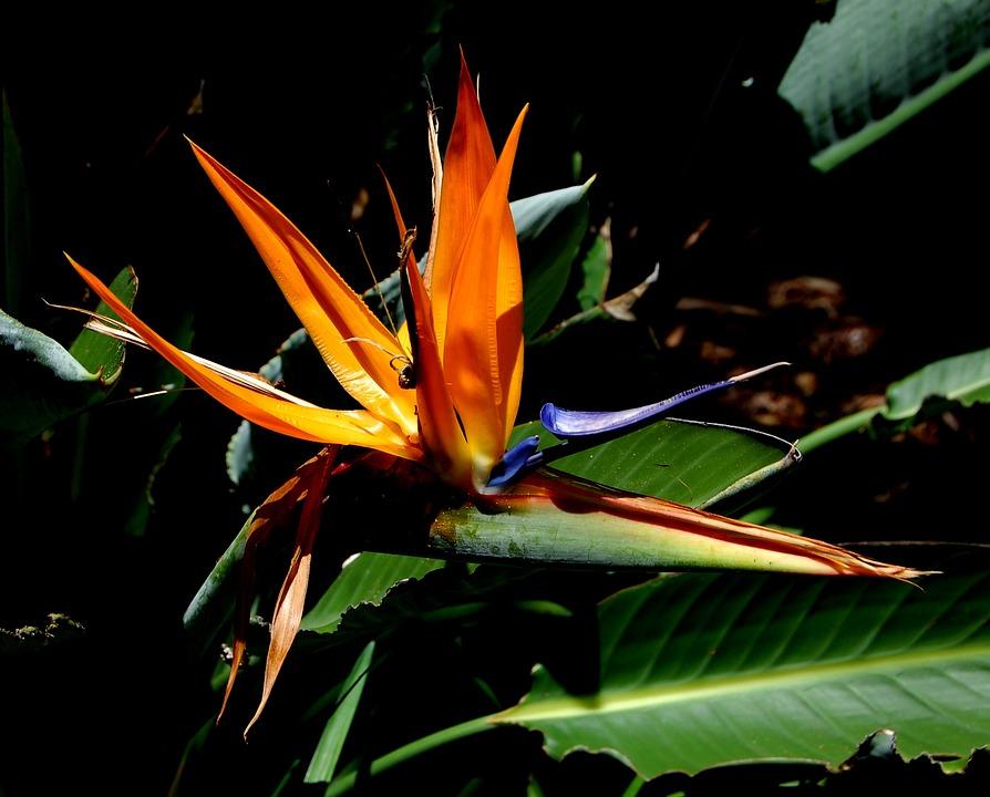 Fiore Uccello Del Paradiso Fiori Foto gratis su Pixabay
