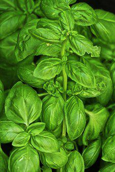 Basil, Kitchen Herb, Medicinal Plant