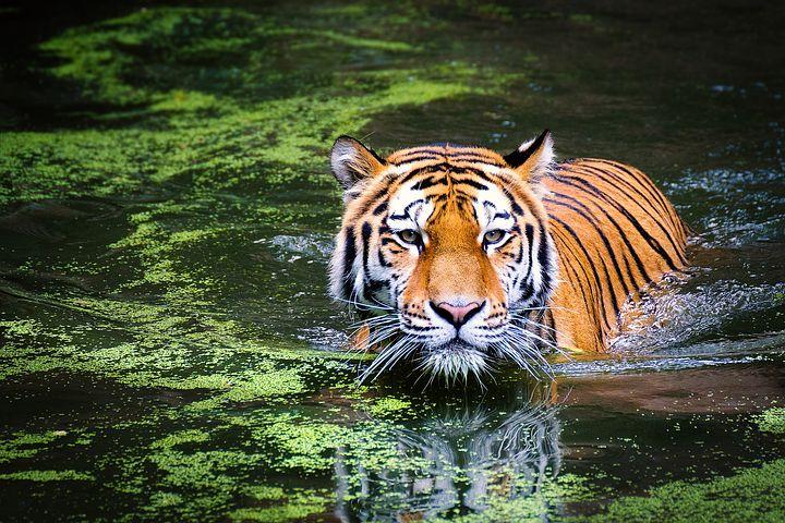 Tiger, Swamp, Big Cat, Wild Cat, Jungle