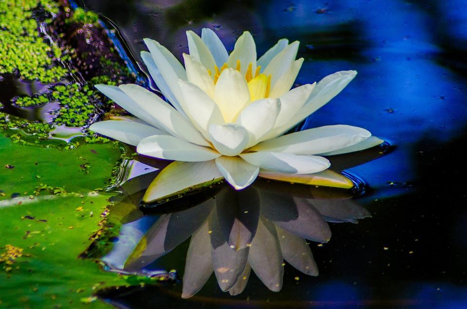 Wasser Blume Natur Kostenloses Foto Auf Pixabay