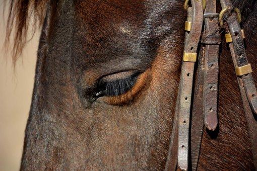 Horse, Animal, Head Animal, Head Horse