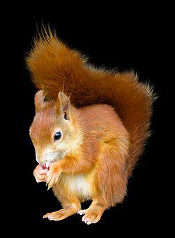 Animal, Squirrel, Isolated, Nager