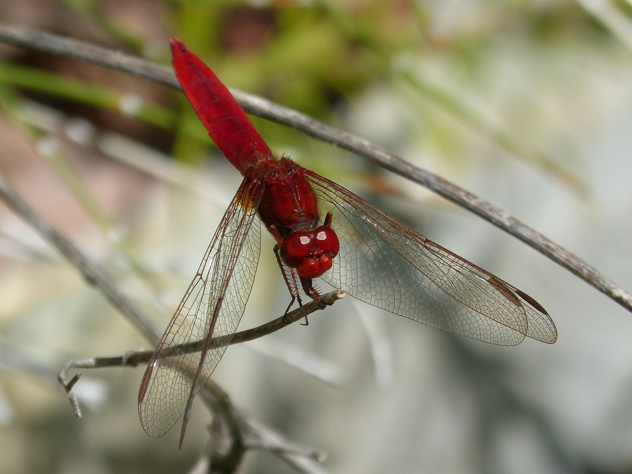 Red dragonfly pictures