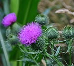 thistle, creeping thistle
