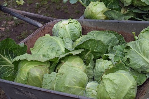 Cabbage, Fresh, Vegetable, Vegetables