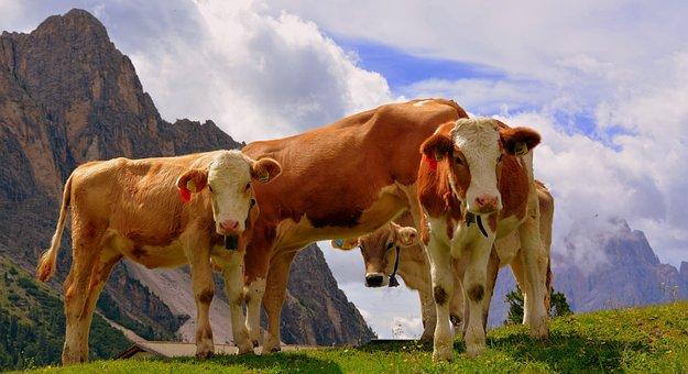 Cows, Dolomites, Prato, Tranquility