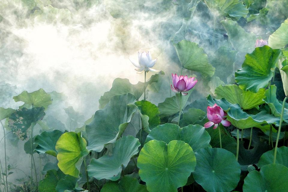 Lotus, Summer, Hasuike, Cool, Smoke