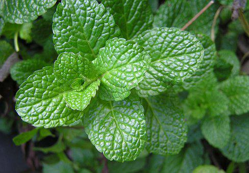 Herb, Mint, Food