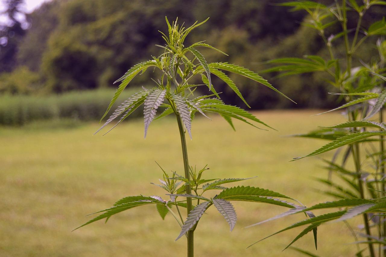 канопля фото растения качество можно