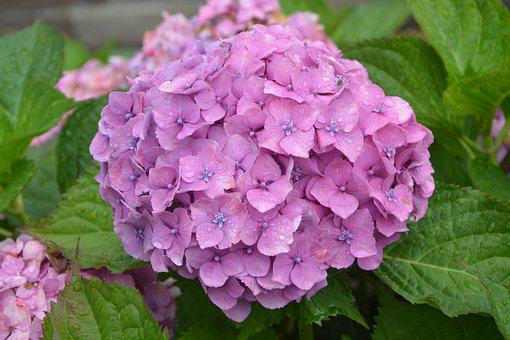 Flowers Hydrangea, Flowers, Nature