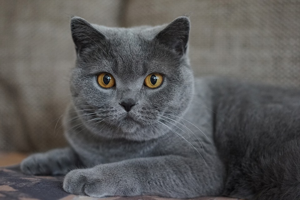 Grey Domestic Cat Mieze 183 Free Photo On Pixabay