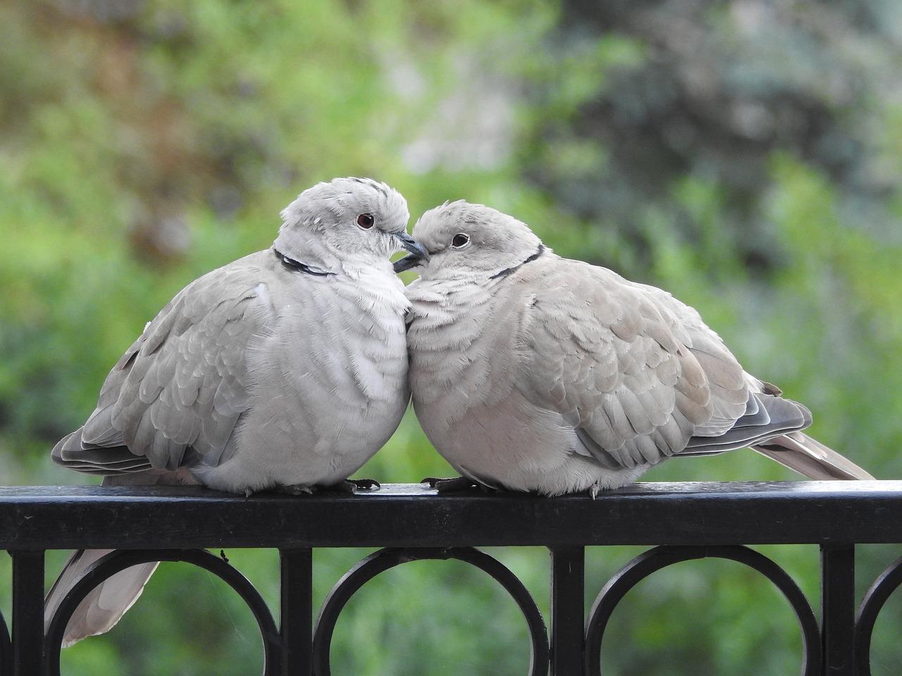 настенное голуби любви фото целом