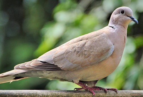 Dove, Bird, Street Deaf, City Pigeon
