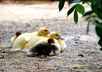 ducks, chicken, water bird
