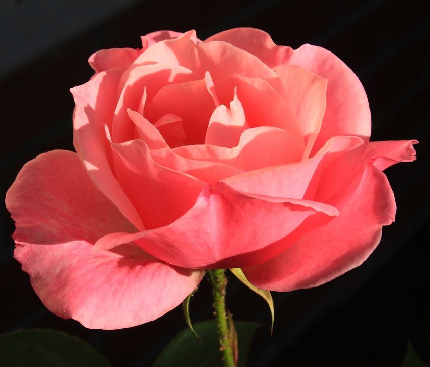 Rose pink pretty flower free photo on pixabay rose pink rose pretty flower flower mightylinksfo